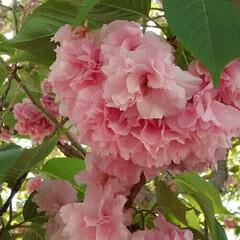 ギョイコウ桜 ギョイコウ桜、 淡いうす緑の花は最後にピ…(2枚目)