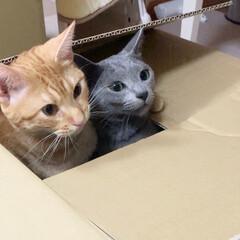 #うちの子ベストショット/アメリカンショートヘア/うちの子ベストショット/ロシアンブルー/義兄弟/箱入り猫/... マーブルとミントは一歳。 最高の遊び友達…(1枚目)