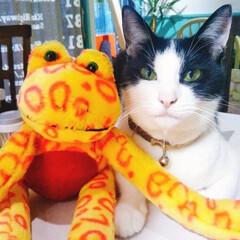 猫/ネコ/ねこ/ぬいぐるみ/記念写真/あごひげ/... ぬいぐるみと記念写真だにゃ
