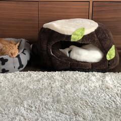 白ねこ部/茶トラ猫/白ねこ/茶トラ男子部 可愛い! 離れて寝てるけど〜 寝方可愛い~