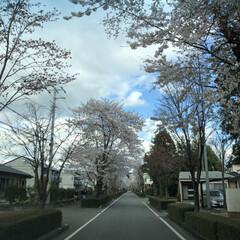 桜 綺麗な桜達(2枚目)
