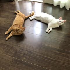 2匹仲良く/ウチの猫/茶トラ男子部/しろねこ/かわいいねこ/茶とら/... 可愛い猫うちの猫〜 ゴロゴロ床でー