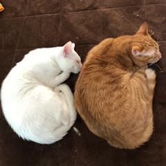 猫/茶トラ猫/白ネコ/白ねこ部/茶トラ男子部/茶トラシロ 同じポーズてー寝るの多い仲良しさん