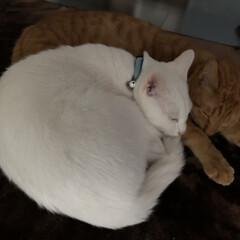 茶トラシロ/しろねこ/白ねこ部/可愛い猫/茶トラ男子部/チャトラ/... いつも仲良しさん