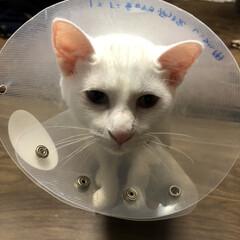 去勢手術/白ネコ/にゃんこ/白ねこ部 去勢してまたカラーつけてて 切ない顔