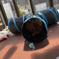 トンネル遊び/茶トラの日/茶トラ猫/茶トラ男子部/茶とら/ウチの猫/... 大好きなトンネルでいつも寝てるね〜 ミー…