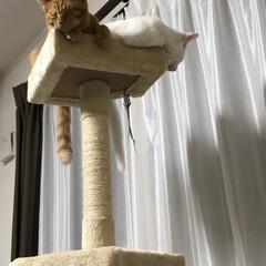 白猫/茶トラ猫/ねこ好き/猫好きさん/子猫/ネコ好き/... 仲良く高い所で寝んね