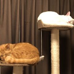 しろねこ/白猫/白ねこ部/茶とら/かわいいねこ/ウチの猫/...