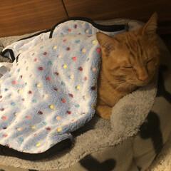 ネコ/猫好き/ねこ/可愛い猫/茶トラ男子部/チャトラ/... 毛布掛けておやすみ
