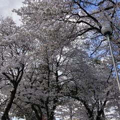 桜 綺麗な桜達(1枚目)