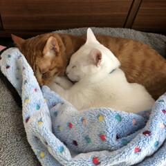 白ねこ部/白ねこ/白猫/ウチの猫/茶トラ男子部/可愛い猫/... いつも仲良し〜毛布掛けたよー