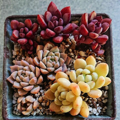 クラバツム/プロリフェラ/パープルドリーム/リメイク鉢/多肉植物のある暮らし/多肉植物/... パープルドリーム、プロリフェラ、クラバツ…(2枚目)