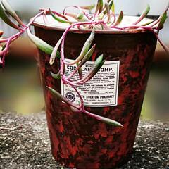 ルビーネックレス/リメイク鉢/多肉植物 カプラ空き容器リメイク