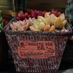 クラバツム/プロリフェラ/パープルドリーム/リメイク鉢/多肉植物のある暮らし/多肉植物/... パープルドリーム、プロリフェラ、クラバツ…