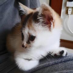 保護猫/ねこ/暮らし 家に来たばっかりの頃はサツキちゃんはこん…