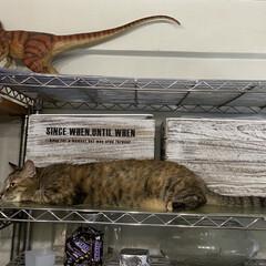保護猫/しあわせ/ねこ/猫大好き/LIMIAペット同好会/住まい/... 恐竜の真似をするアヤメちゃん   尻尾が…