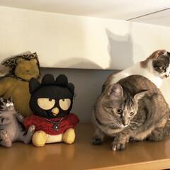 保護猫/しあわせ/ねこ/猫大好き/LIMIAペット同好会/住まい/... ぬいぐるみに擬態する猫様方🐱