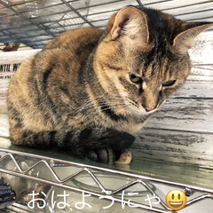 棚/しあわせ/ねこ/保護猫/住まい/暮らし アヤメちゃんは高いところが好きねぇ🐱