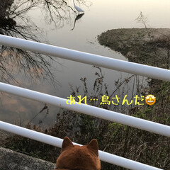 お散歩/柴犬/ワンコ同好会/暮らし 春のお花とお犬たち( ¨̮ ) 黒リード…(10枚目)