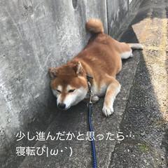 柴犬 うちのこてつ君🐕 散歩が大好きなんです🤗(2枚目)