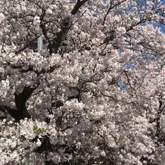 桜/柴犬/お散歩 朝の散歩で( ¨̮ )︎︎♡ (6枚目)