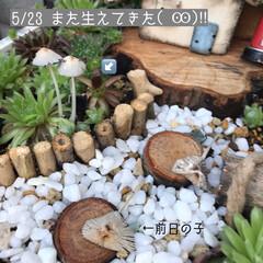 多肉棚/DIY 梅雨の合間に少しづつ…屋根つけたぁ🙌🏻 …(8枚目)