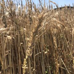 コンバイン/麦/DIY花瓶 麦の収穫時期みたいですね🌾  田舎のおじ…(3枚目)