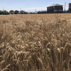 コンバイン/麦/DIY花瓶 麦の収穫時期みたいですね🌾  田舎のおじ…(4枚目)