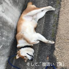 柴犬 うちのこてつ君🐕 散歩が大好きなんです🤗(3枚目)