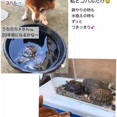 柴犬/わんこ同好会 お久しぶりです🐕🐕🐕  昨日ボクはちょっ…(8枚目)