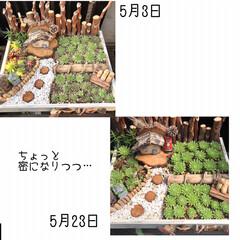 多肉棚/DIY 梅雨の合間に少しづつ…屋根つけたぁ🙌🏻 …(10枚目)