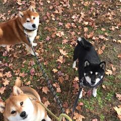 わんこ同好会/柴犬/お散歩 秋の終わりとお犬たち(^^) 散歩いって…