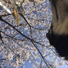 桜/柴犬/お散歩 朝の散歩で( ¨̮ )︎︎♡ (4枚目)