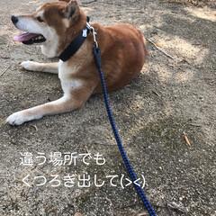 柴犬 うちのこてつ君🐕 散歩が大好きなんです🤗(4枚目)