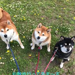 柴犬/お散歩 お散歩珍道中🐕🐕🐕