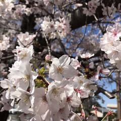 桜/柴犬/お散歩 朝の散歩で( ¨̮ )︎︎♡ (9枚目)