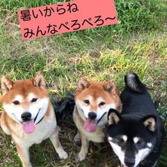 柴犬/わんこ同好会 お久しぶりです🐕🐕🐕  昨日ボクはちょっ…(4枚目)