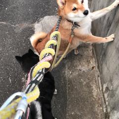 わんこ同好会/柴犬/お散歩/暮らし 夕焼け雲とお犬たち。 誰も一度もこっちを…(7枚目)