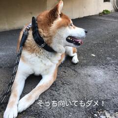 柴犬 うちのこてつ君🐕 散歩が大好きなんです🤗(7枚目)