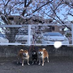 桜/柴犬/お散歩 朝の散歩で( ¨̮ )︎︎♡
