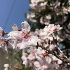 ミニランドセル/桜 ご卒業された皆様、 4月から新生活が始ま…(3枚目)