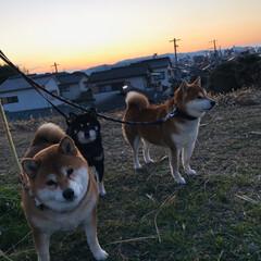 近所はみんなお友達/お散歩/わんこ/水仙/ボケの花/柴犬 さっき、犬の散歩に行ってたら・・・ 近所…