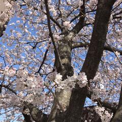 桜/柴犬/お散歩 朝の散歩で( ¨̮ )︎︎♡ (5枚目)
