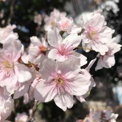 ミニランドセル/桜 ご卒業された皆様、 4月から新生活が始ま…(2枚目)
