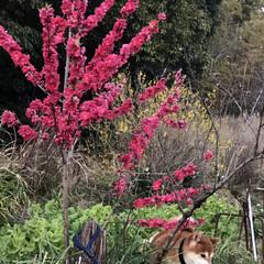 柴犬/ワンコ/お散歩 散歩行くよ~っ🐕て言うのに、母と娘は行き…(6枚目)