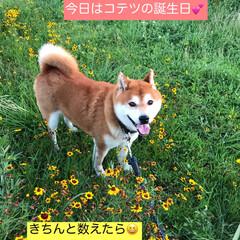 柴犬/わんこ同好会 お久しぶりです🐕🐕🐕  昨日ボクはちょっ…(1枚目)