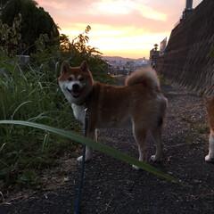 お散歩/わんこ同好会/柴犬 朝も散歩行くし、 夕方も散歩行くんだ🐕🐕…(9枚目)