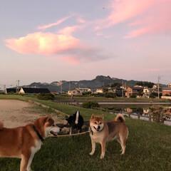 わんこ同好会/柴犬/お散歩/暮らし 夕焼け雲とお犬たち。 誰も一度もこっちを…(4枚目)