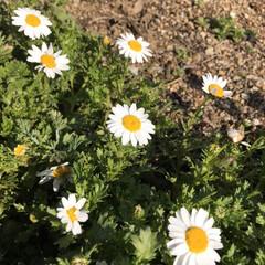 春ですね/公園へお散歩 ふきのとうとてんとう虫♡ ・・・とお花た…(7枚目)