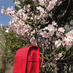 ミニランドセル/桜 ご卒業された皆様、 4月から新生活が始ま…